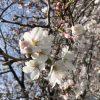 桜がいつの間にか