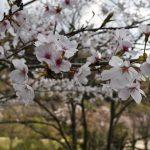 桜の花びら舞い散る